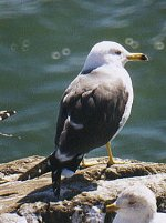 Black-tailed Gull from photo by Elliot Kirschbaum